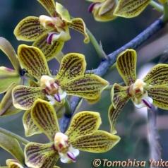 Phalaenopsis natmataungensis