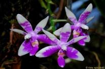 Phalaenopsis modesta