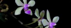 Phalaenopsis stobartiana
