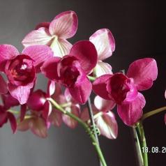 Phalaenopsis bez tajemnic. Przewodnik dla początkujących – cz. II