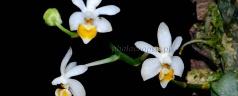 Phalaenopsis malipoensis