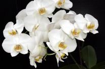 Phalaenopsis bez tajemnic. Przewodnik dla początkujących – Cz. I